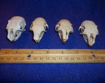 4 Real animal squirrel bone skull teeth man cave taxidermy part piece
