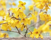 Flower Photography- Yellow Floral Print, Forsythia Photograph, Spring Flowers Photo, Yellow Teal Decor, Nature Photography, Floral Wall Art