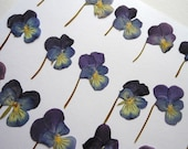 Viola Tricolor Short Stem Flowers Pressed Dried pack of 21 facing East