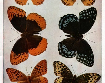 Antique Scientific Butterfly Print, Giclee Print Reproduction. Orange, Yellow, Blue Butterflies.