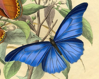 Butterflies Blue -Old book-flight of a butterfly-Natural history
