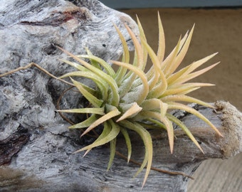 Tillandsia Ionantha Peach Air Plants