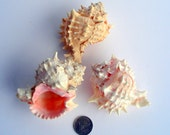 SINGLE Pink Murex Sea Shell and a FREE air plant