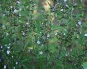 Summer Savory Herb - Heirloom - 30 Seeds