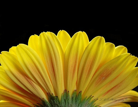 Yellow Gerbera Daisy Photograph - LMR Photography 2