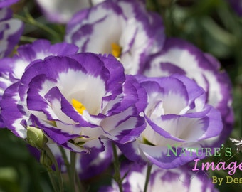 Purple Flower Notecards - 5 Flat Cards - Eustoma Grandiflorum Cards gifts under 10 theartisangroup