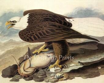 John James Audubon Watercolor Reproductions - Bald Eagle, 1828. Fine Art Print.