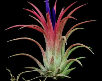 "Airplant/Tillandsia ionantha ""Rubra""- Set of 5 Plants-Blushes Red When Blooming"