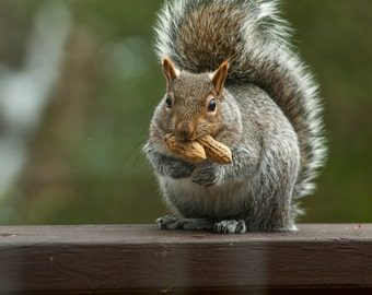 Squirrel - Two Peanuts -  Nature photography, wildlife photography, animal, fall, fine art print, new england
