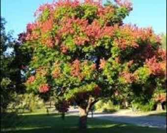 THREE (3) Golden Rain Tree's Plant Koelreuteria Paniculata Organic Fairy Garden