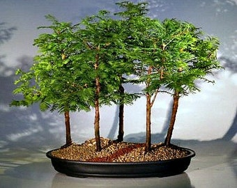 California Dawn Redwood, Metasequoia, 25 seeds, grows quickly, zones 4 to 9, great shade tree, perfect for bonsai