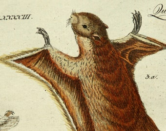 1790 Antique print of FLYING SQUIRRELS. Squirrel. Natural History. 227 years old nice copper engraving.