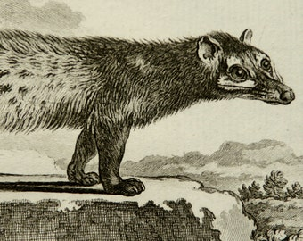 1771 Antique print of a GENET. Genets. Wild Cat. Natural History. Zoology. 246 years old gorgeous Buffon copper engraving