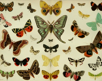 1895 Antique fine lithograph of different species of BUTTERFLIES. 121 years old gorgeous print.
