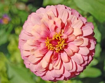 Pink Zinnia Fine Art Photography , Zinnia Flower , Floral wall art , Home decor , Summer - Zinnia in the Pink , 8 x 10