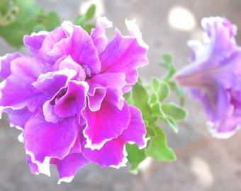 Purple Petunias Fine Art Photography , Petunia Flower , Floral wall art , Home decor , Summer - Frizzy  Petunias , 8 x 12