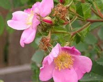 1/2oz Natural Wild Rose or Tea Rose Perfume Oil, Rose Fragrance Oil, Rose Scent, Lotions and Potions