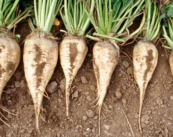 Make Your Own Sugar, Sugar Beets, 20 Seeds
