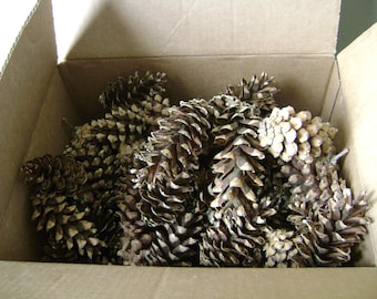 Fifty (50) Eastern White Pine Cones