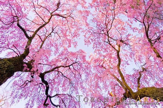 Pink Wall Art cherry blossom photography cherry blossom art pink wall art