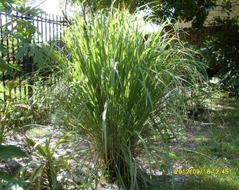 cyber monday 4 fever grass lemongrass plants rooted by artvine. Black Bedroom Furniture Sets. Home Design Ideas