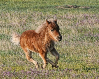 miniature horse running field Wyoming baby nursery fine art landscape 8x10