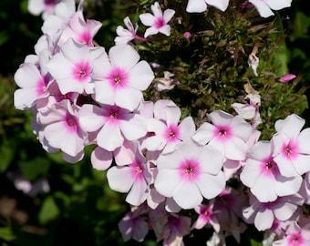 Phlox mix seeds,147, flower seeds, gardening,summer flower,