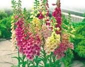 "0.2g (approx. 2600) foxglove seeds""Gloxiniaeflora"" DIGITALIS PURPUREA very decorative flower and officinal herb <Best before 12.2019!>"
