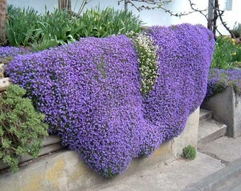 0.1g (approx. 400) aubrieta seeds AUBRIETA L. perfect for rockeries walls gravel gardens and containers, Fresh seeds - Best before 12.2018!