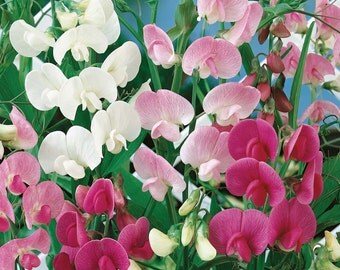 0.5g (approx. 9) perennial sweet pea seeds LATHYRUS LATIFOLIUS very decorative and extremely fragrant <Fresh seeds - Best before 12.2018!>