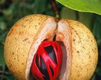 Nutmeg - Essential Oil - 10ml