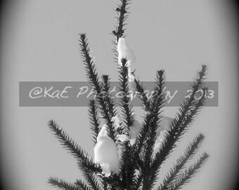 """Snowy Tree Top   5"""" x 7""""  Print"""