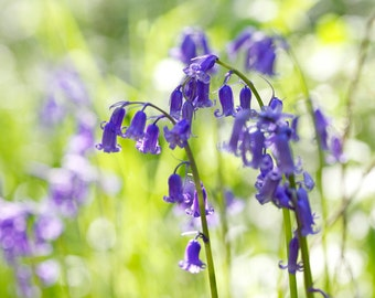 Nature Photography, Bluebells, Wild flowers, Spring flowers, Sunny, Woodland, Wall Art.