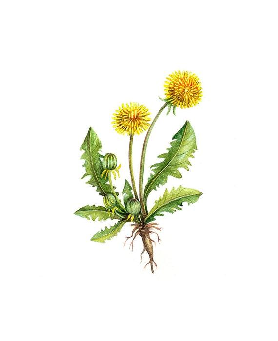 dandelion floral botanical print illustration watercolor. Black Bedroom Furniture Sets. Home Design Ideas