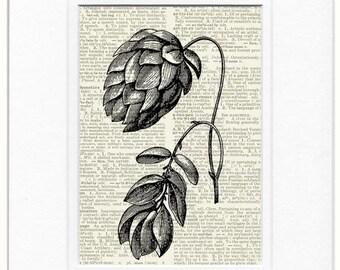 hops, common hop 18oo's wood engraving print