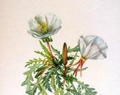 Flower Print - Rock Rose, Evening Primrose - 2 Sided - 1950's Vintage Botanical Illustration Book Page