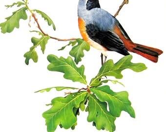 Redstart - Bird Print - 1976 Vintage Book Page Garden Birds