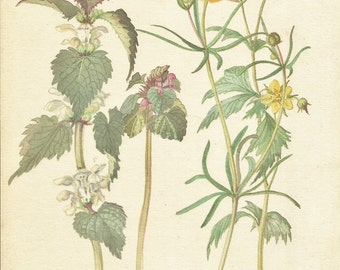 Flower Print - Nettle - Crowfoot - Vintage Botanical Book Plate Print - Country Diary of Edwardian Lady - Edith Holden - 1906