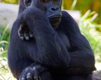 Gorilla - 8 x 12 Photographic Print