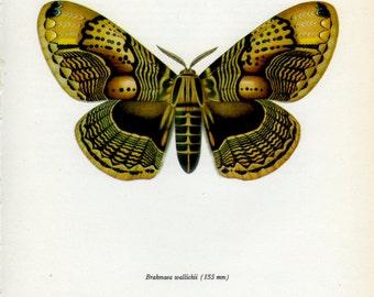 Brown Yellow Vintage Moth Print, (77) Brahamaea, Prochazka, 1966, Butterfly, Lepidoptera, Natural History, Frameable Art, Cottage Decor