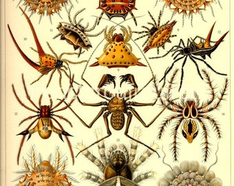 antique victorian arachnida spiders illustration ernst haeckel digital download