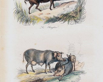1870 Victorian PIG print By BUFFON, wild boar and pig of Siam, original french plate of natural history, zoologist