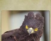Eagle, Nature Photography, Bird Photography, Bird of Prey, Black Hawk Eagle, Yellow, 8x10 Fine Art Photograph Print, Raptor, Fathers Day