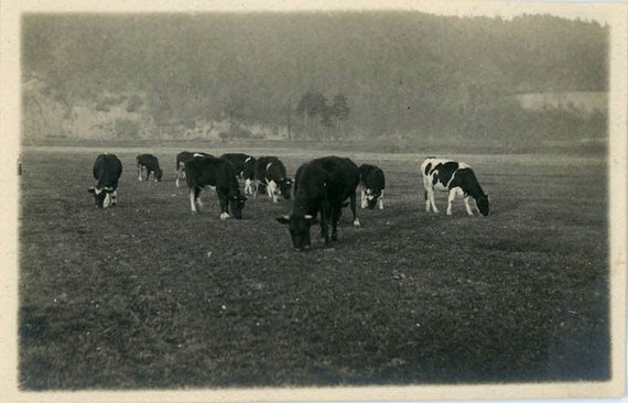 """Vintage Photo Postcard """"Cows In The Meadow"""", Photography, Paper Ephemera, Antique, Snapshot, Old Photo, Collectibles - 0027"""
