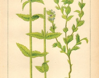 1893 Yellow Rattle and Eyewort Original Antique Chromolithograph to Frame