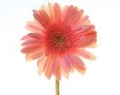Daisy Photography, Pink Gerber Daisy Photo, Baby Girl Nursery Decor, Peach Daisy Flower, Picture of Daisies, Coral, Melon Floral 8x10 11x14