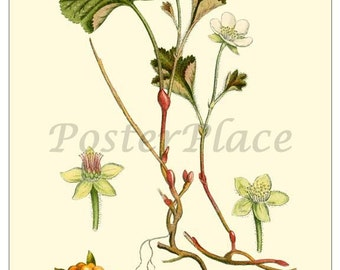 CLOUD BERRY art card - Vintage Botanical print reproduction 311