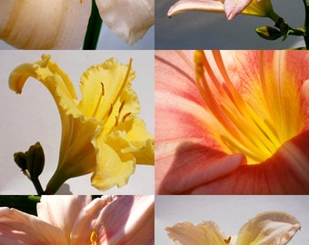 Daylilies, 100 seeds - sorbet colors, white, yellow, light pink and peach - Perennial - Hemerocallis