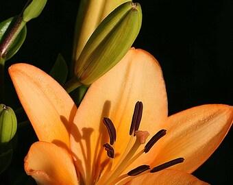 Orange Asiatic Lily, Fine Art Photography, Flower Photography, Botanical, Garden, Floral Photography