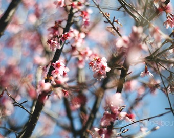 pink plum tree blossoms in the spring photography print